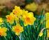 Narcisse jonquille
