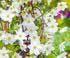 clématite précoce early sensation coloris blanc à petites fleurs