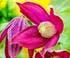 clématite précoce parfumée clematis armandii coloris rose pâle