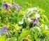 clématite précoce albiflora coloris blanc feuillage vert
