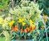 clématite précoce francis rivis grandes fleurs aux pétales allongés