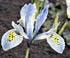 Iris reticulata 'Katharina Hodgkin'