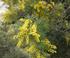 Acacia dealbata en fleurs