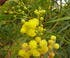 Acacia retinoides à fleurs jaunes