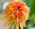 echinacée marmelade orange