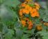 Erysimum orange