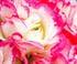 Géranium étonnant 'Apple Blossom'