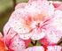 Géranium étonnant 'Pink Eggshell'