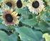 Fleur jaune et noir d'hélianthus