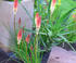 Kniphofia orange vanille