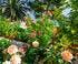 roses villa Ephrussi
