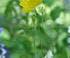 Fleur jaune de meconopsis