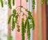 mimosa  de sainte-hélène villa Ephrussi