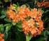 Rhododendron à fleurs orange