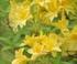 Rhododendron à fleurs jaunes luteum narcissiflora