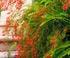 russelia equisetiformis villa Ephrussi