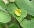 fleur jaune saruma