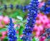 sauge mystic spires blue villa Ephrussi
