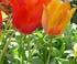 Tulipe Appledoorn