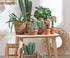 Ensemble de cactus en intérieur avec pots en terre cuite