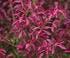 Le fusain ailé, un arbuste remarquable en automne