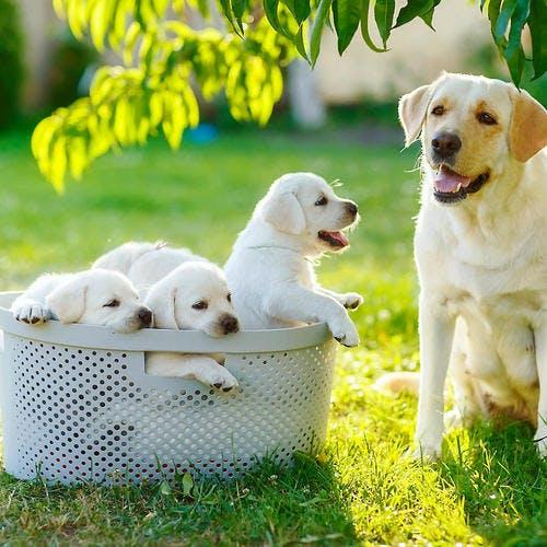 Maman chien portée