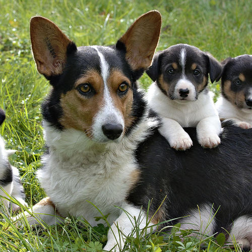 Chienne Corgi avec ses petits