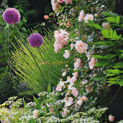 Allium giganteum et roses