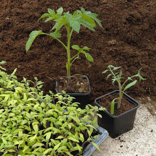 Comment semer des tomates