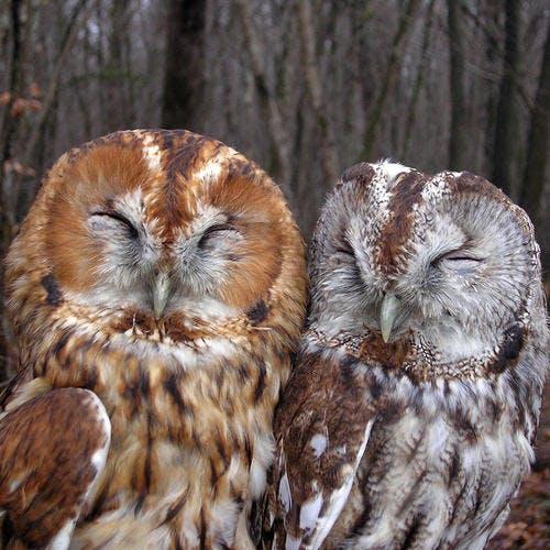 Couple de chouettes hulottes