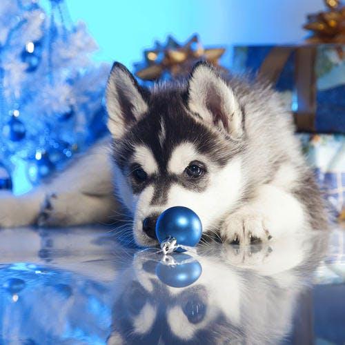Jeune husky sous le sapin de Noël