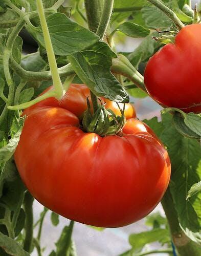 Semer et planter les tomates avec la Lune