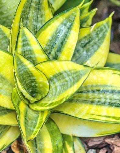 La sansevière, la plante d'intérieur que vous ne raterez jamais