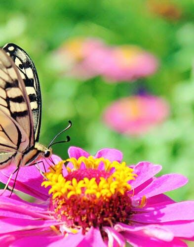 Reconnaître les papillons du jardin