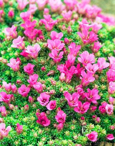 """Mousse : 6 plantes """"coussin"""" pour couvrir le sol du jardin"""