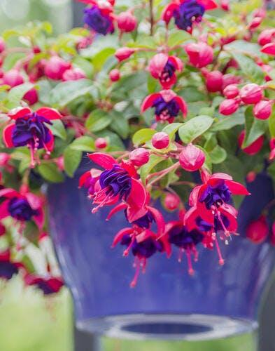 Des plantes à croissance rapide pour un beau balcon tout de suite !