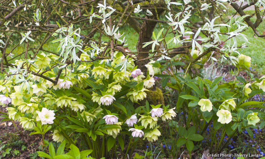 Pyrus salicifolia'Pendula', hellébores orientales hybrides doubles et Veronica'Georgia Blue'.