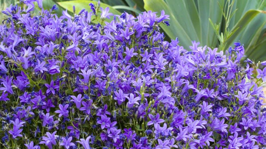 Iris et Campanula muralis