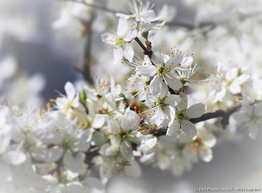 Fleures blanches d'aubépines