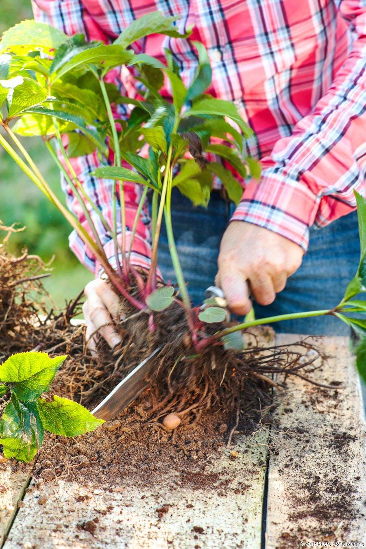 diviser plante couteau
