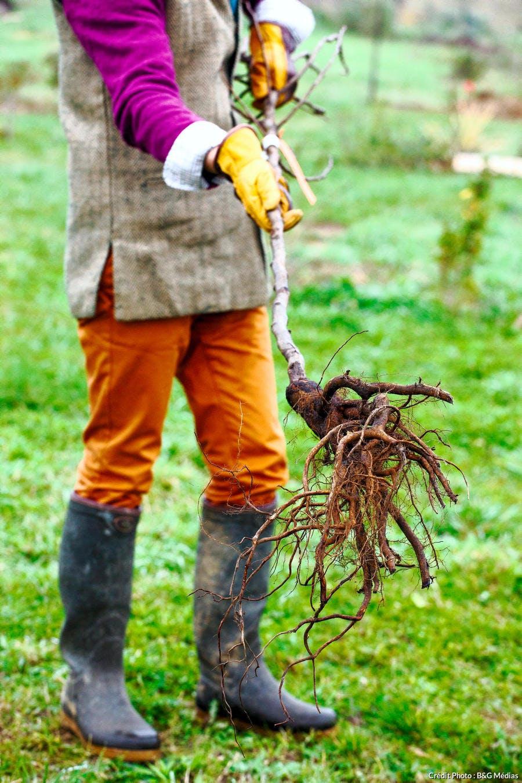 Arbre à racines nues