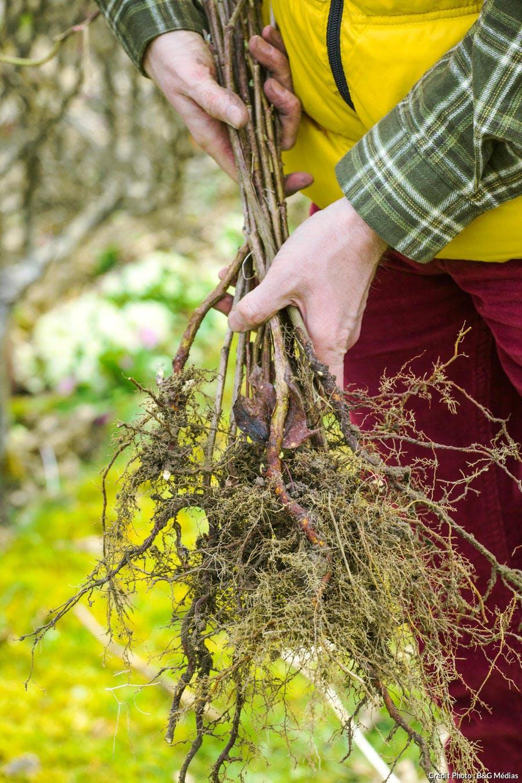 Framboisier à racines nues
