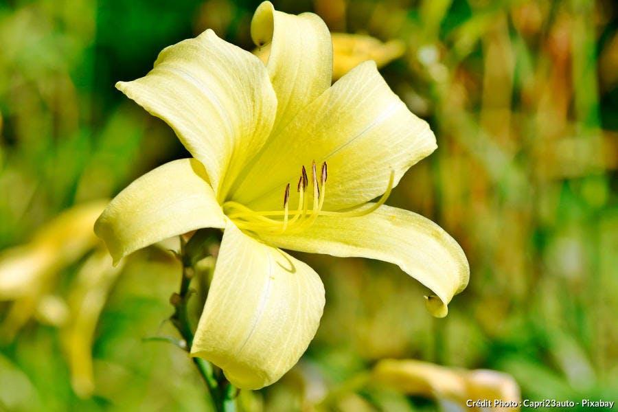 Lis jaune