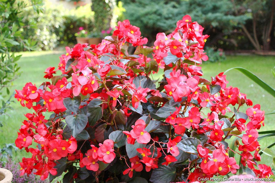 Bégonia fleurs rouges