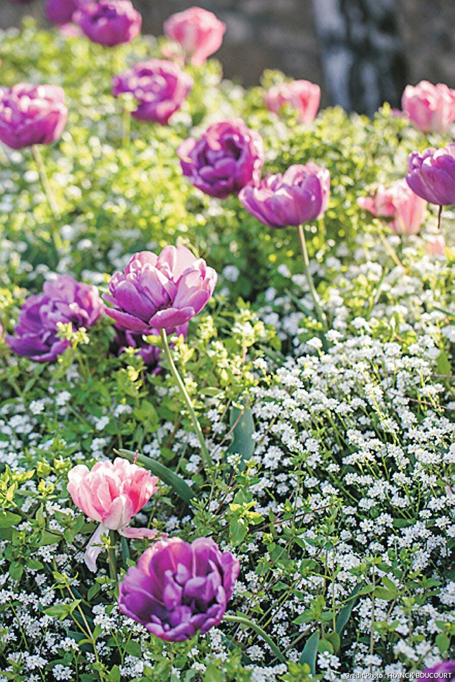 Bulbes tulipes