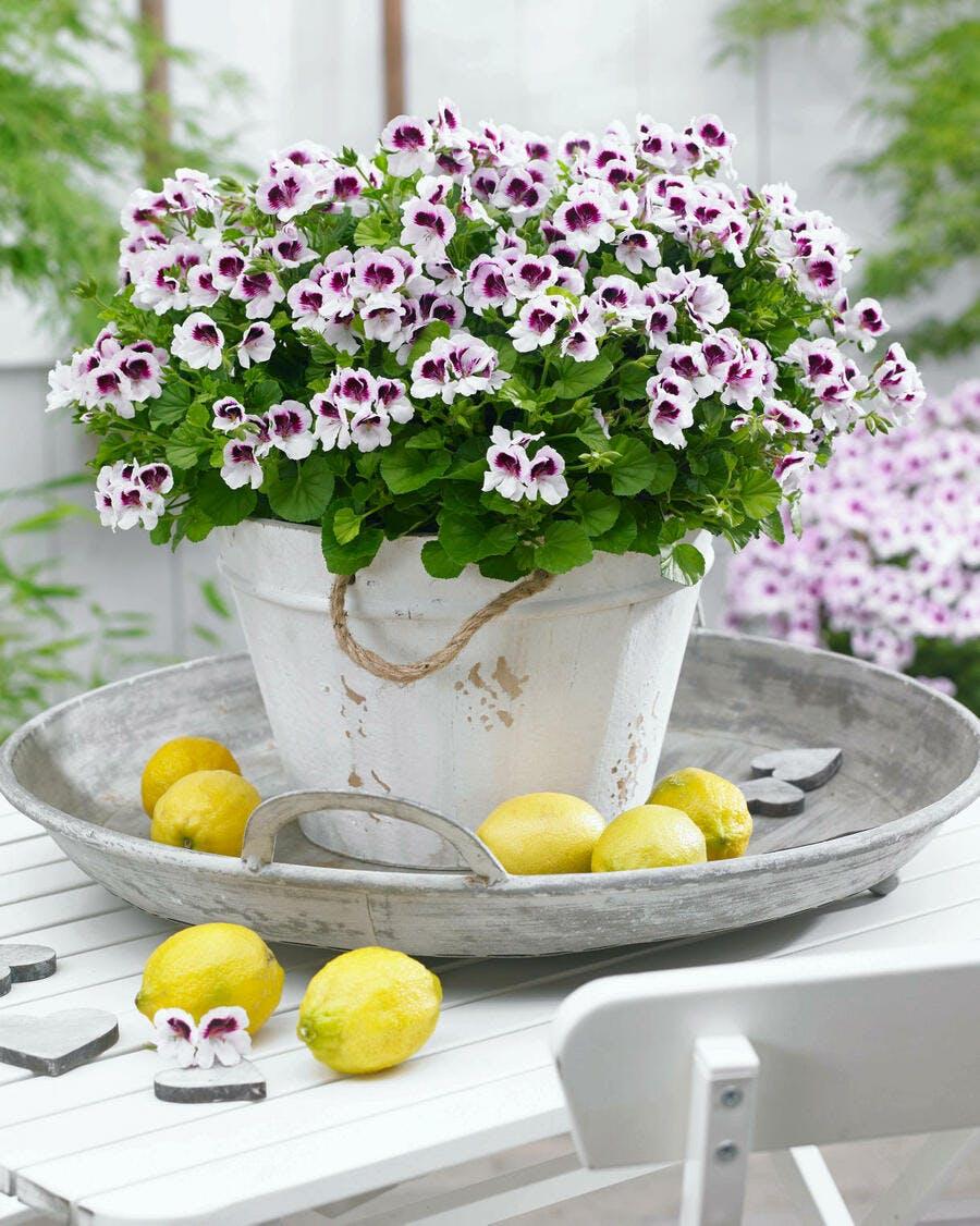 pelargonium pot