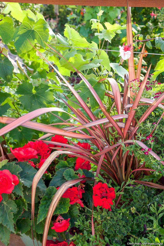 geranium phornium