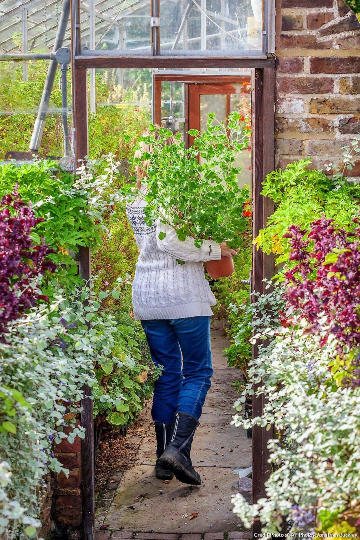 Hivernage du Pelargonium