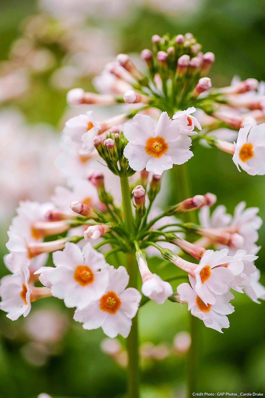 Primula japonica