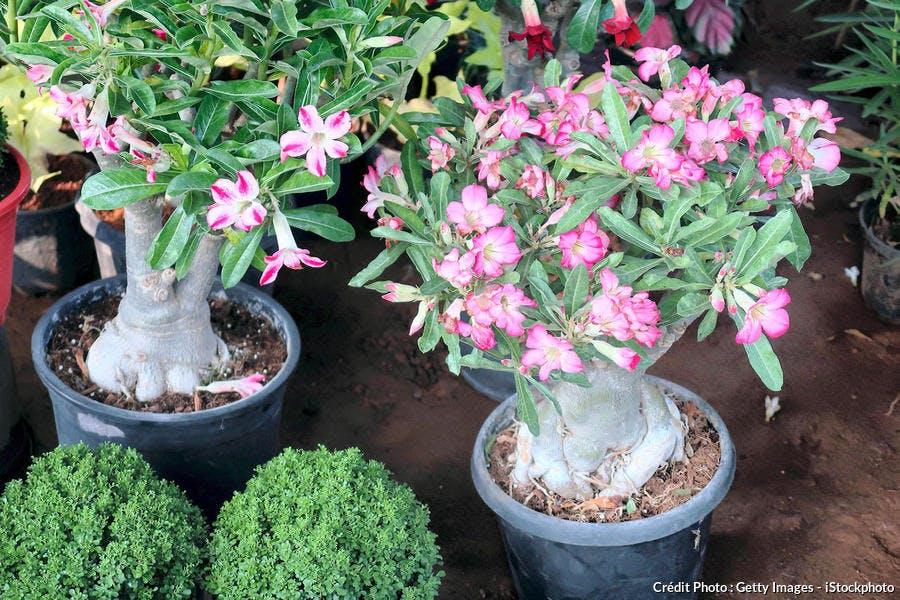 Adenium obesum en pot bonsaï